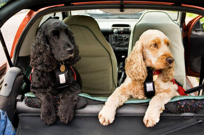 Blonde and black cocker spaniels riding in back of car
