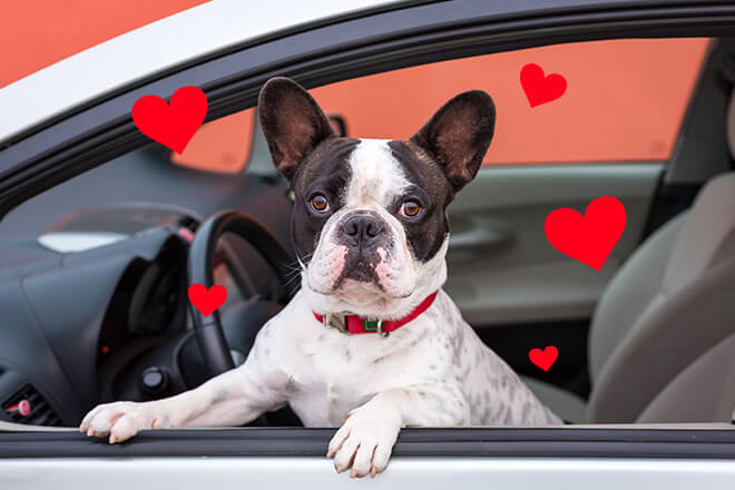 Dog sitting in car window surrounded by hearts and love for its pet accessories.
