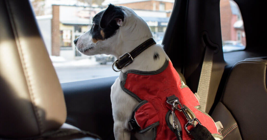 a dog wearing a harness in the back seat of a car