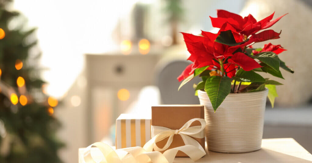 a blooming poinsettia sits on a small table